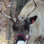 DL - Reindeer Antlers