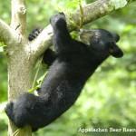 Bear_Cub_tree