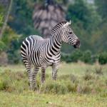 zebra (600x397)
