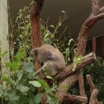 002_Australia_Koala
