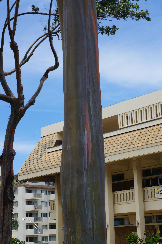 029_Maui_Rambo_Tree